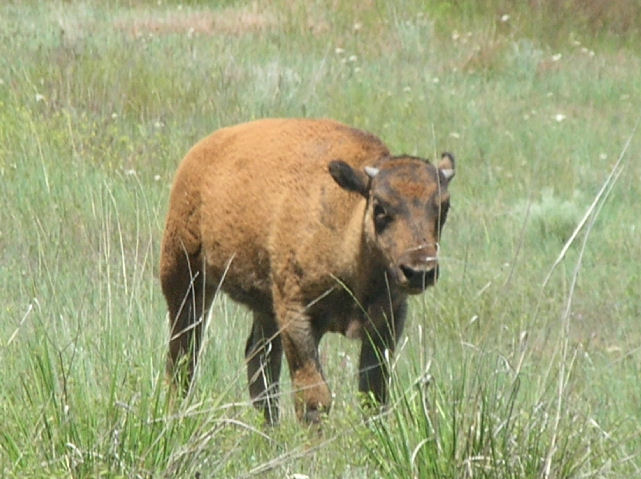Baby Bison at the National Bison Range