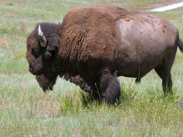 Bison at the National Bison Range